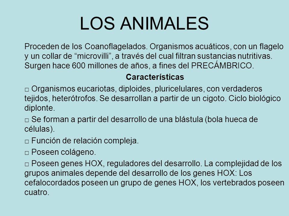 LOS ANIMALES Proceden de los Coanoflagelados. Organismos acuáticos, con un flagelo y un collar de microvilli, a través del cual filtran sustancias nut