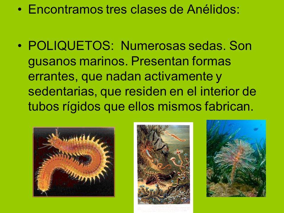 Encontramos tres clases de Anélidos: POLIQUETOS: Numerosas sedas. Son gusanos marinos. Presentan formas errantes, que nadan activamente y sedentarias,