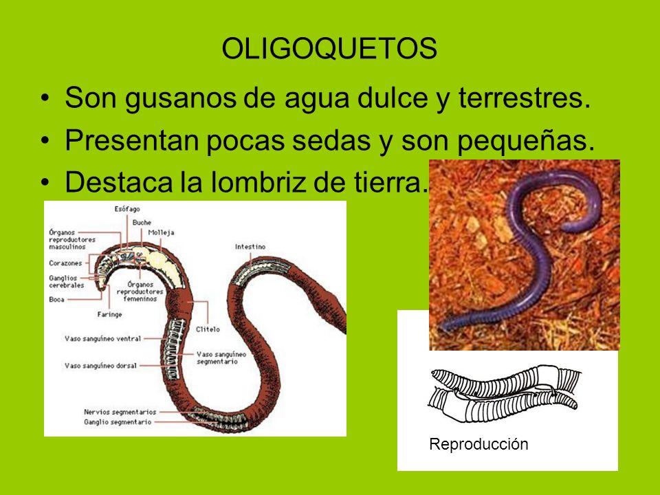 OLIGOQUETOS Son gusanos de agua dulce y terrestres. Presentan pocas sedas y son pequeñas. Destaca la lombriz de tierra. Reproducción
