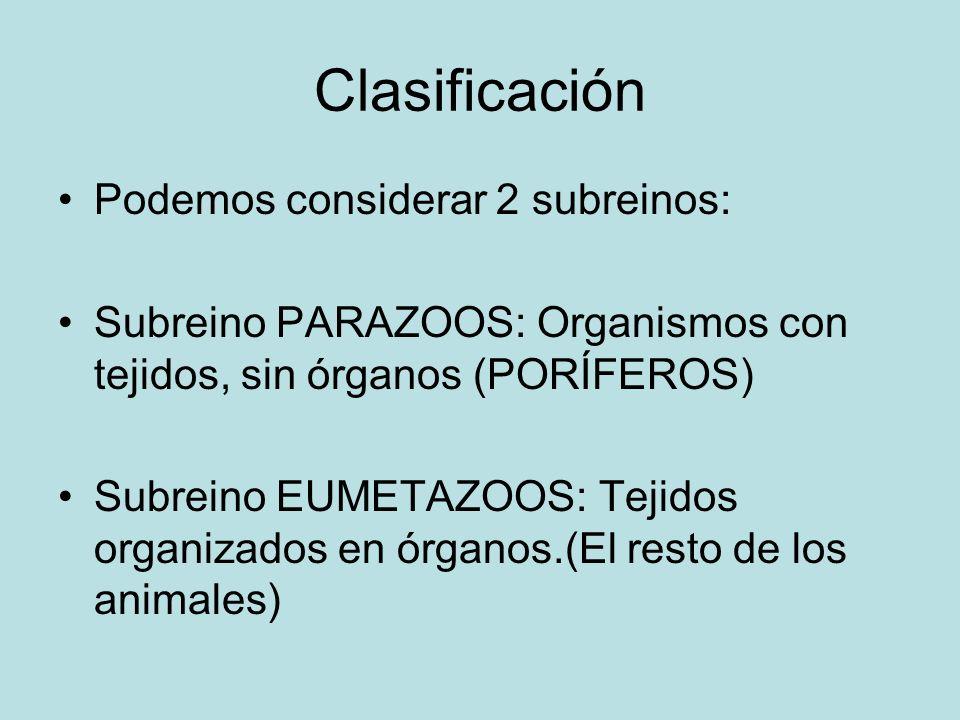 Clasificación Podemos considerar 2 subreinos: Subreino PARAZOOS: Organismos con tejidos, sin órganos (PORÍFEROS) Subreino EUMETAZOOS: Tejidos organiza