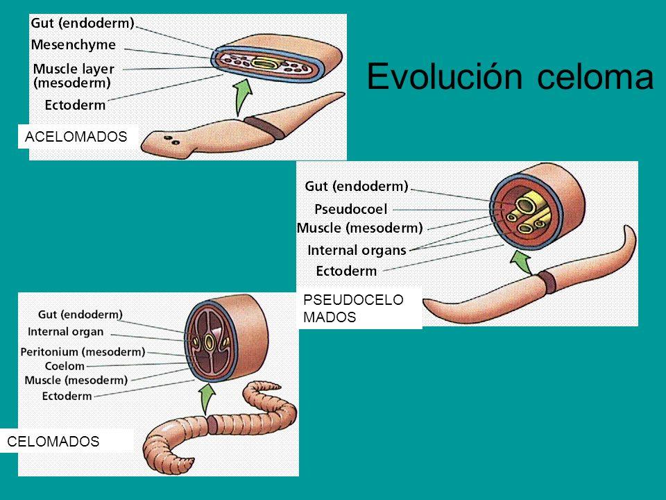 Evolución celoma ACELOMADOS PSEUDOCELO MADOS CELOMADOS