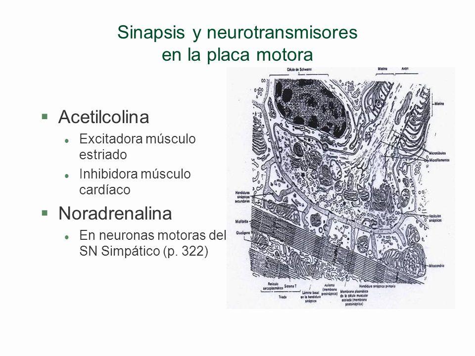 Sinapsis y neurotransmisores §Clases de sinapsis l Excitadoras: con los neurotransmisores: Acetilcolina Adrenalina (= epinefrina) Noradrenalina (= nor