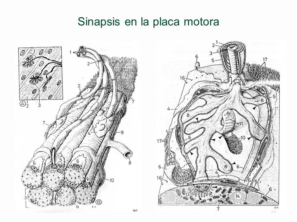 Sinapsis y neurotransmisores en la placa motora §Acetilcolina l Excitadora músculo estriado l Inhibidora músculo cardíaco §Noradrenalina l En neuronas