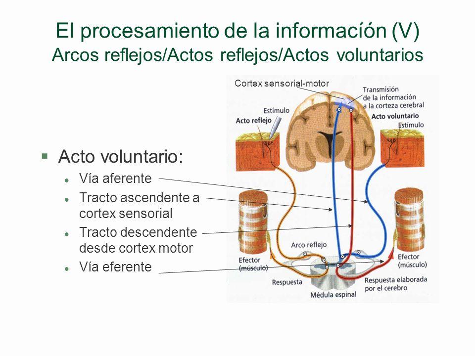 CONDICIONAMIENTO EXPERIMENTAL DEL MIEDO. Mientras la rata oye sólo un tono, su presión sanguínea sube poco y apenas se queda paralizada (izquierda). S