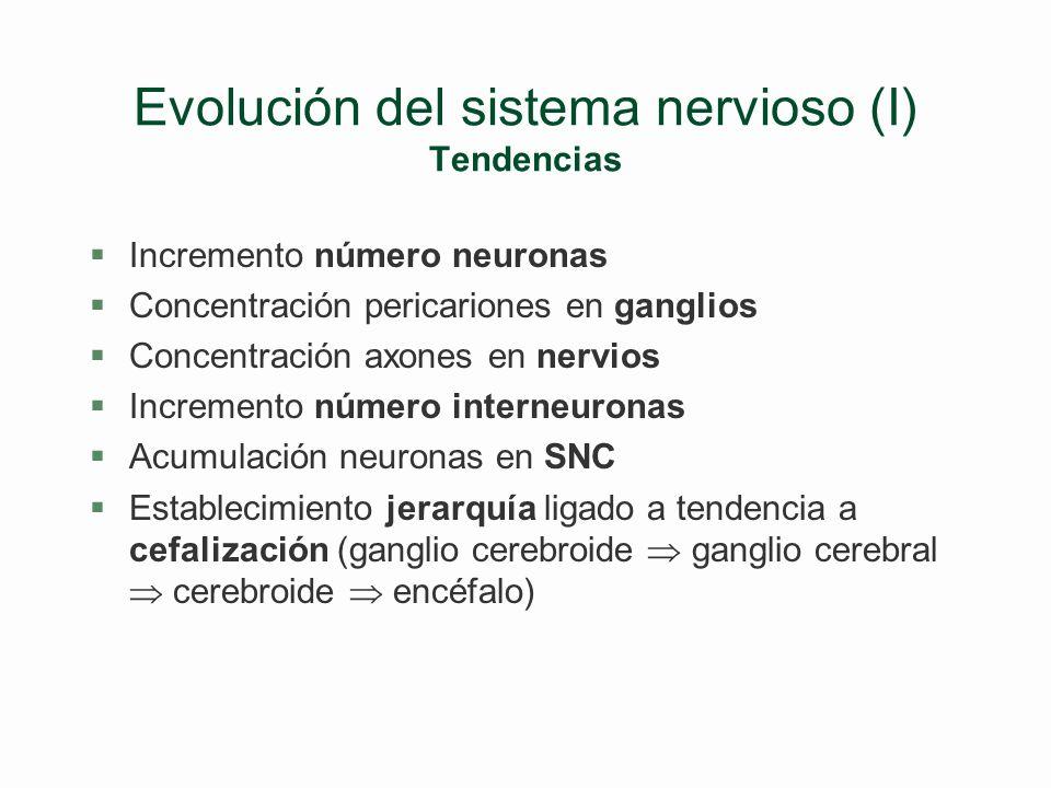 El procesamiento de la informacíón (V) Arcos reflejos/Actos reflejos/Actos voluntarios §Acto voluntario: l Vía aferente l Tracto ascendente a cortex s