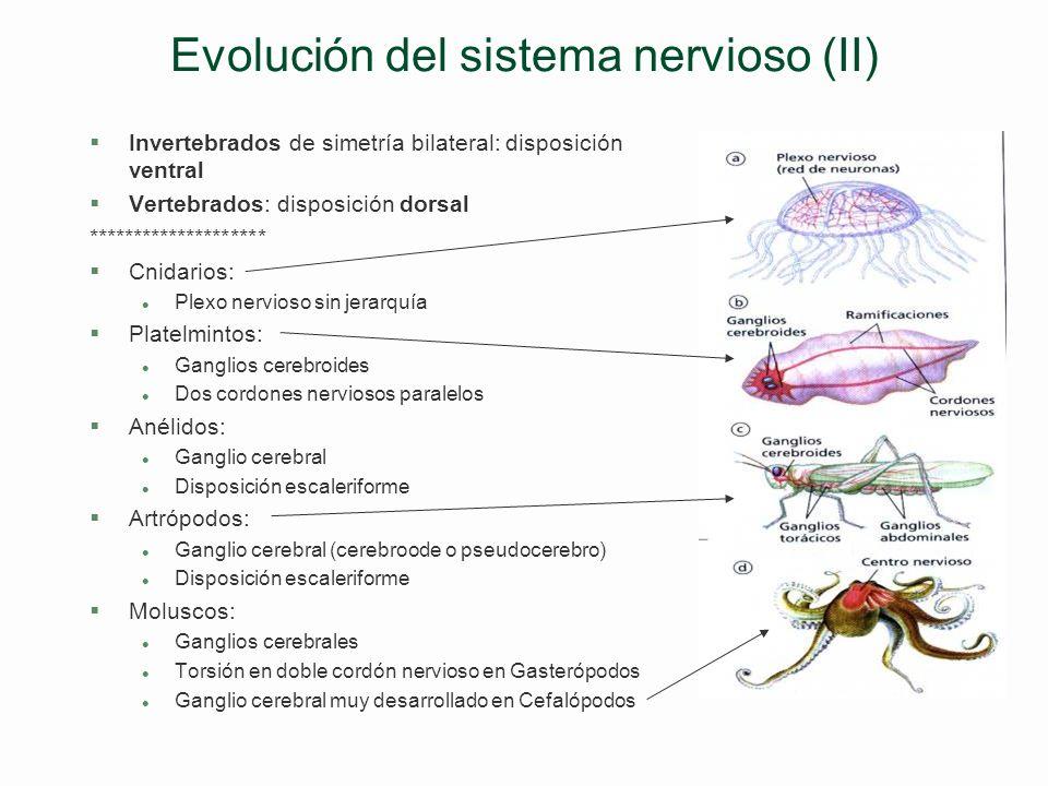 Evolución del sistema nervioso (I) Tendencias §Incremento número neuronas §Concentración pericariones en ganglios §Concentración axones en nervios §In