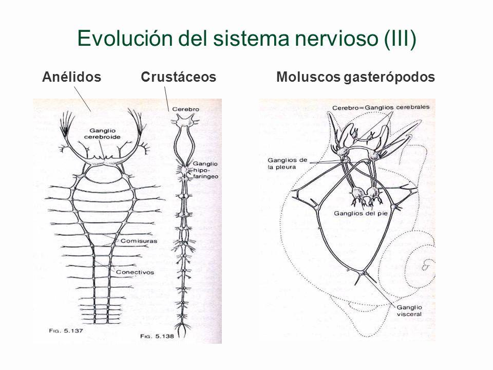 Evolución del sistema nervioso (II) §Invertebrados de simetría bilateral: disposición ventral §Vertebrados: disposición dorsal ******************** §C