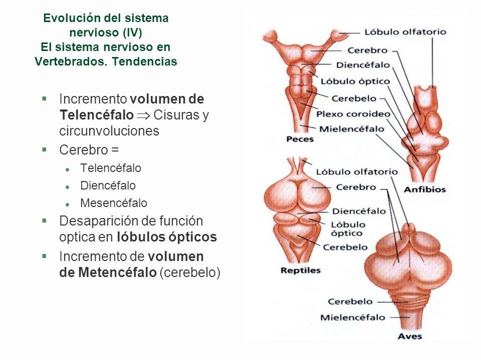 Evolución del sistema nervioso (III) Anélidos CrustáceosMoluscos gasterópodos
