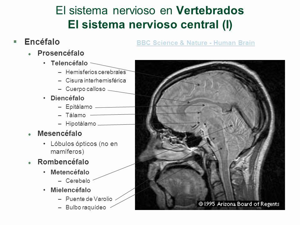 l Evolución del sistema nervioso (IV) El sistema nervioso en Vertebrados. Tendencias §Incremento volumen de Telencéfalo Cisuras y circunvoluciones §Ce