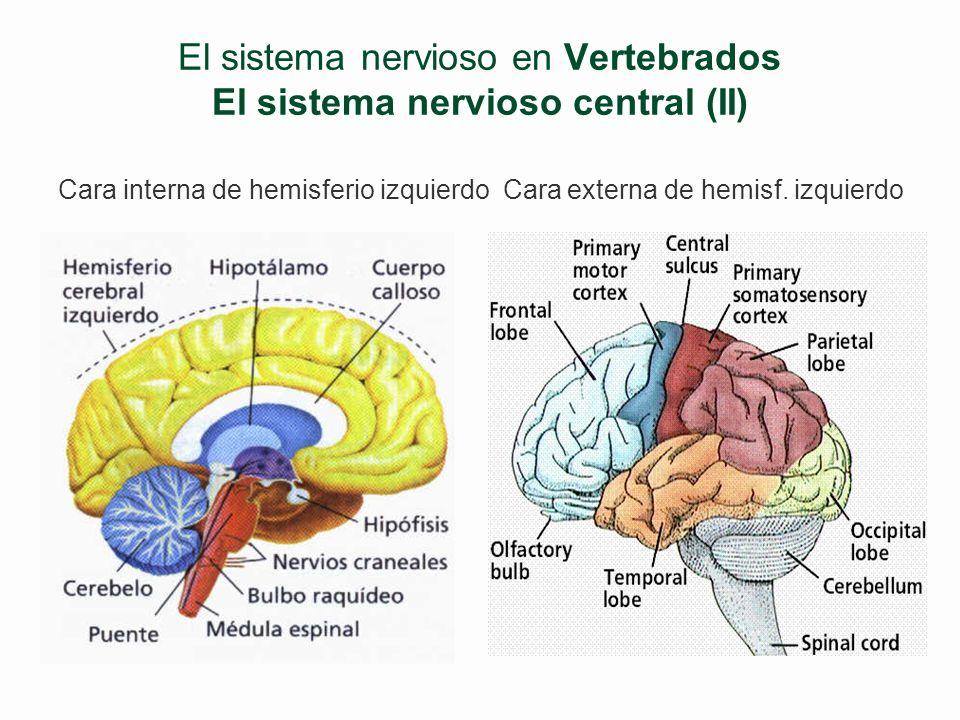 El sistema nervioso en Vertebrados El sistema nervioso central (I) §Encéfalo l Prosencéfalo Telencéfalo –Hemisferios cerebrales –Cisura interhemisféri