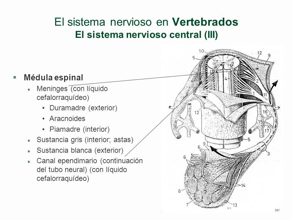 El sistema nervioso en Vertebrados El sistema nervioso central (II) Cara interna de hemisferio izquierdo Cara externa de hemisf. izquierdo