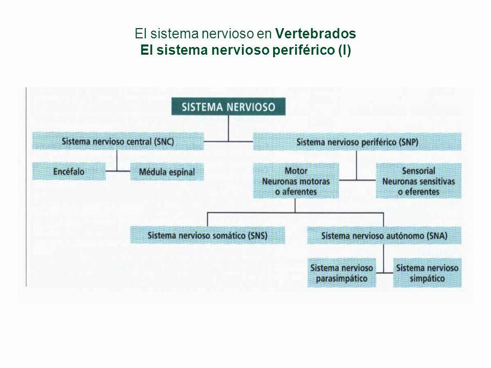 El sistema nervioso en Vertebrados El sistema nervioso central (III) §Médula espinal l Meninges (con líquido cefalorraquídeo) Duramadre (exterior) Ara