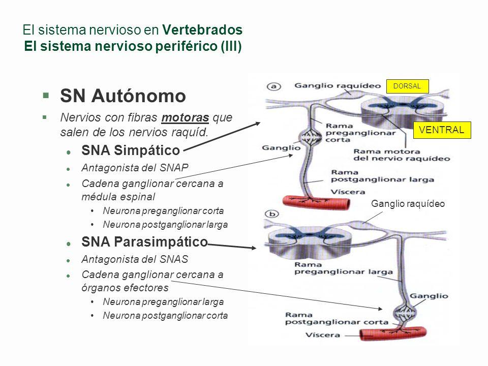 El sistema nervioso en Vertebrados El sistema nervioso periférico (II) SN Somático Nervios con una sola fibra motora (axones muy largos) Nervios raquí