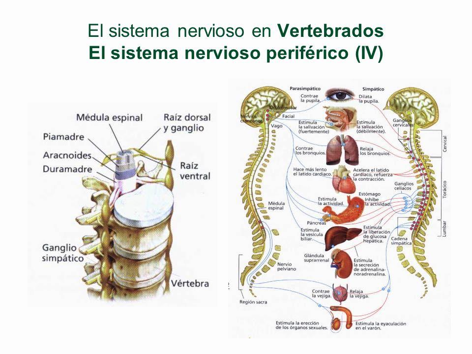 El sistema nervioso en Vertebrados El sistema nervioso periférico (III) §SN Autónomo §Nervios con fibras motoras que salen de los nervios raquíd. l SN