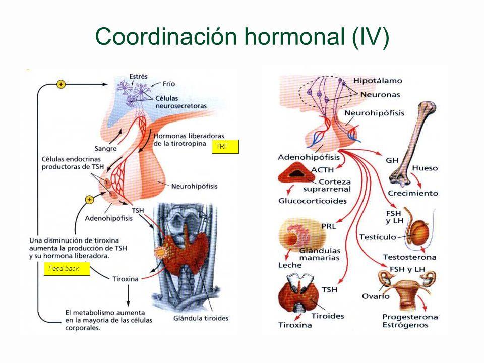 Coordinación hormonal (III) §Regulación de la secreción hormonal l Retroalimentación o feed- back l Control del eje hipotálamo- hipófisis