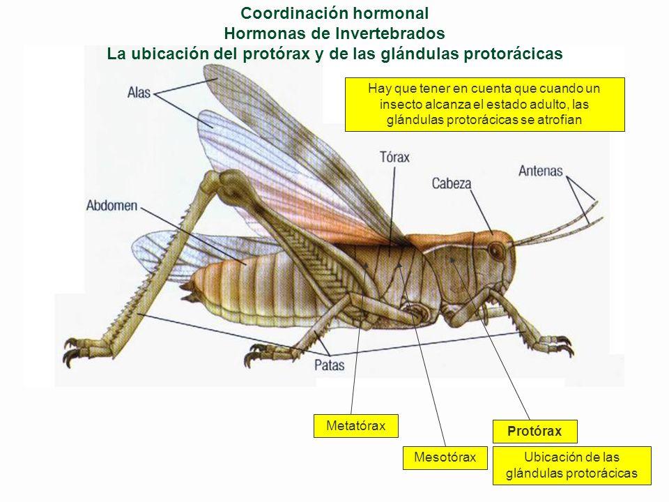 Coordinación hormonal Hormonas de Invertebrados Recordemos los dos tipos básicos de desarrollo en los insectos En el saltamontes la cría que sale del