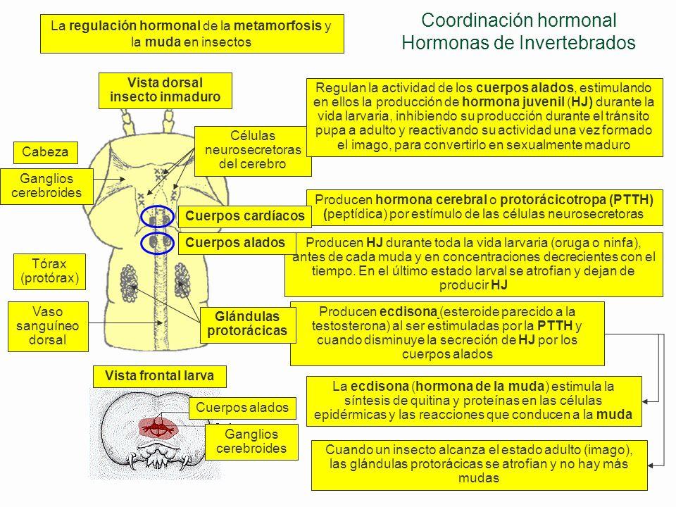 Hormonas en invertebrados