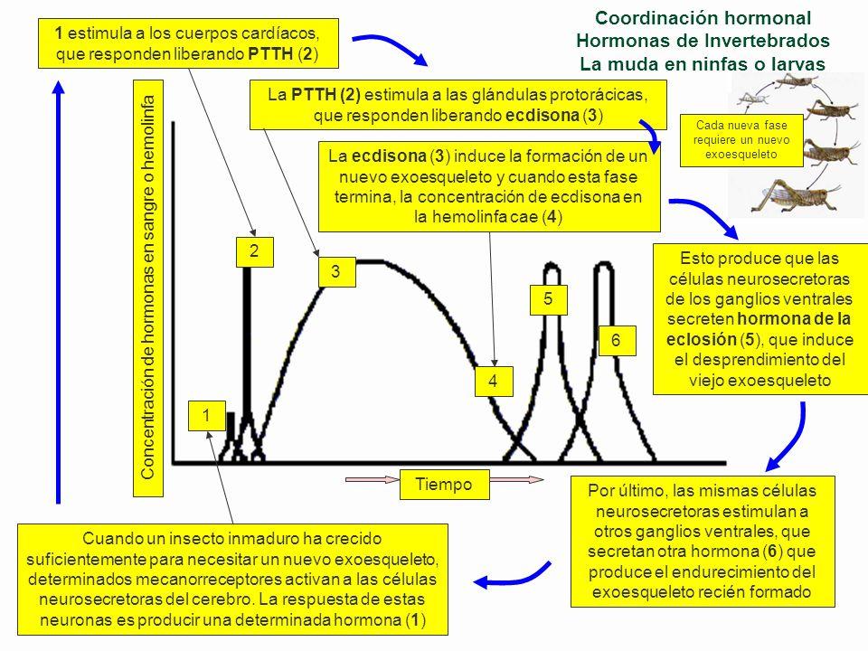 Coordinación hormonal Hormonas de Invertebrados La regulación hormonal de la metamorfosis y la muda en insectos Producen hormona cerebral o protorácic