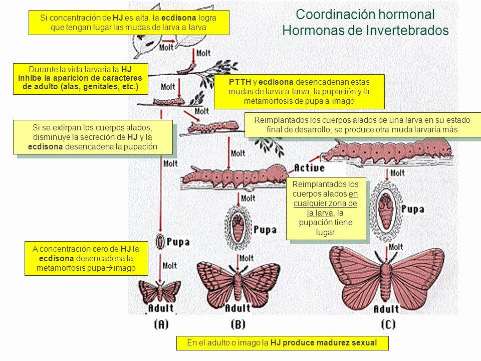 Coordinación hormonal Hormonas de Invertebrados La muda en ninfas o larvas Cuando un insecto inmaduro ha crecido suficientemente para necesitar un nue