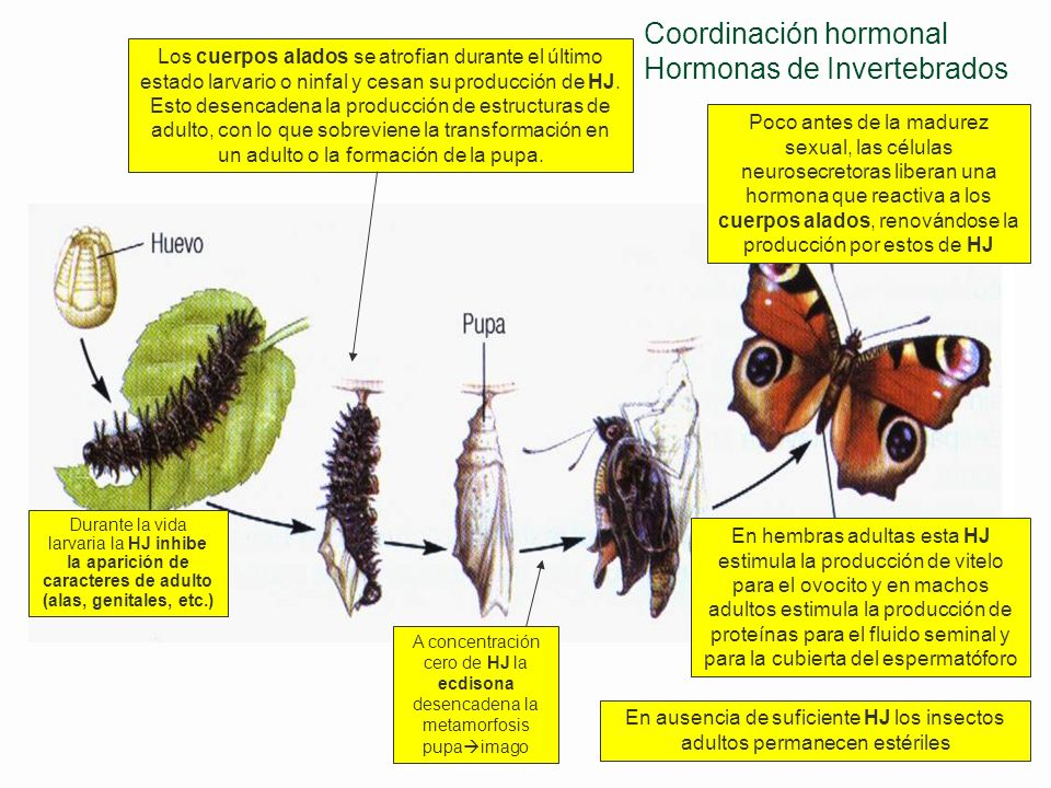 Coordinación hormonal Hormonas de Invertebrados PTTH y ecdisona desencadenan estas mudas de larva a larva, la pupación y la metamorfosis de pupa a ima