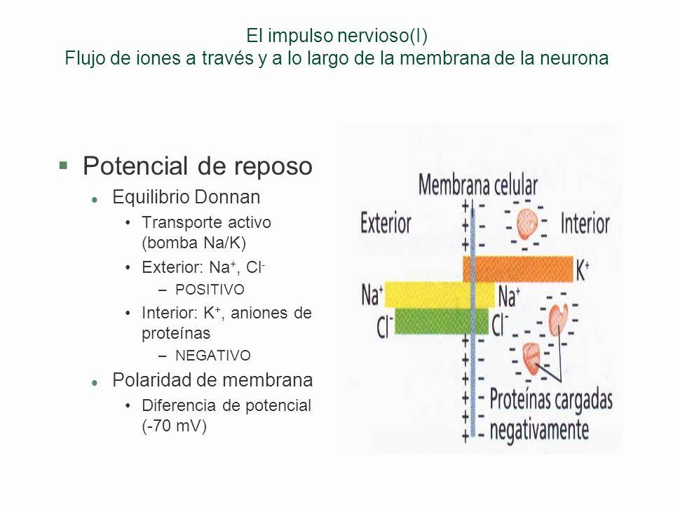 Tipos de neuronas §Sensitivas (aferentes) l Receptor Neurona de asociación §Motoras (eferentes) l Procesador Efector (músculo, glándula) §Interneurona
