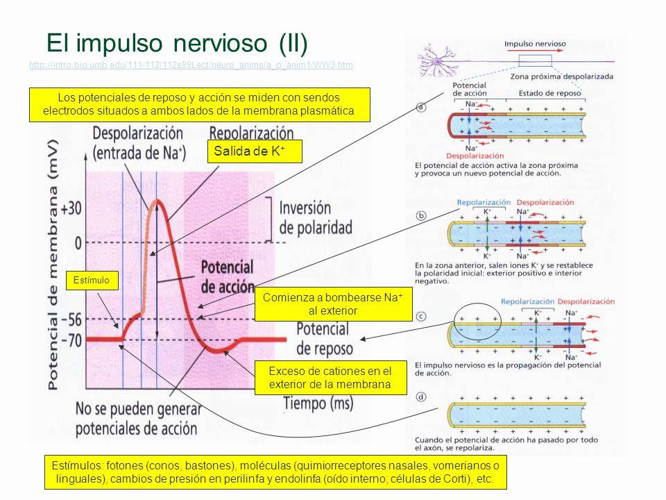 El impulso nervioso(I) Flujo de iones a través y a lo largo de la membrana de la neurona §Potencial de reposo l Equilibrio Donnan Transporte activo (b