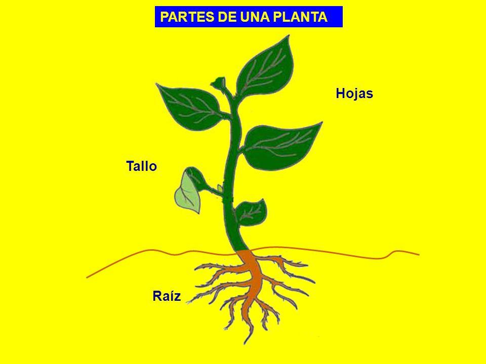 PARTES DE UNA PLANTA Raíz Tallo Hojas