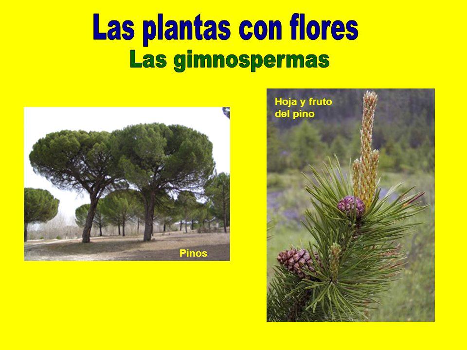 Pinos Hoja y fruto del pino