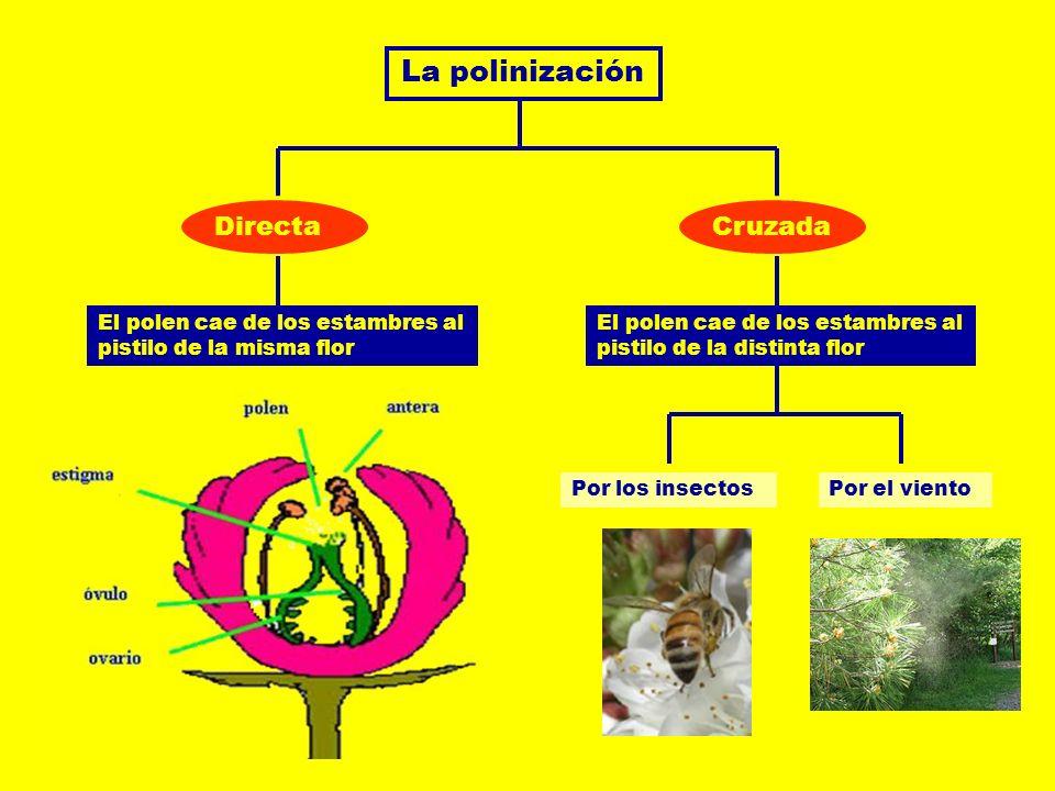 La polinización DirectaCruzada El polen cae de los estambres al pistilo de la misma flor El polen cae de los estambres al pistilo de la distinta flor