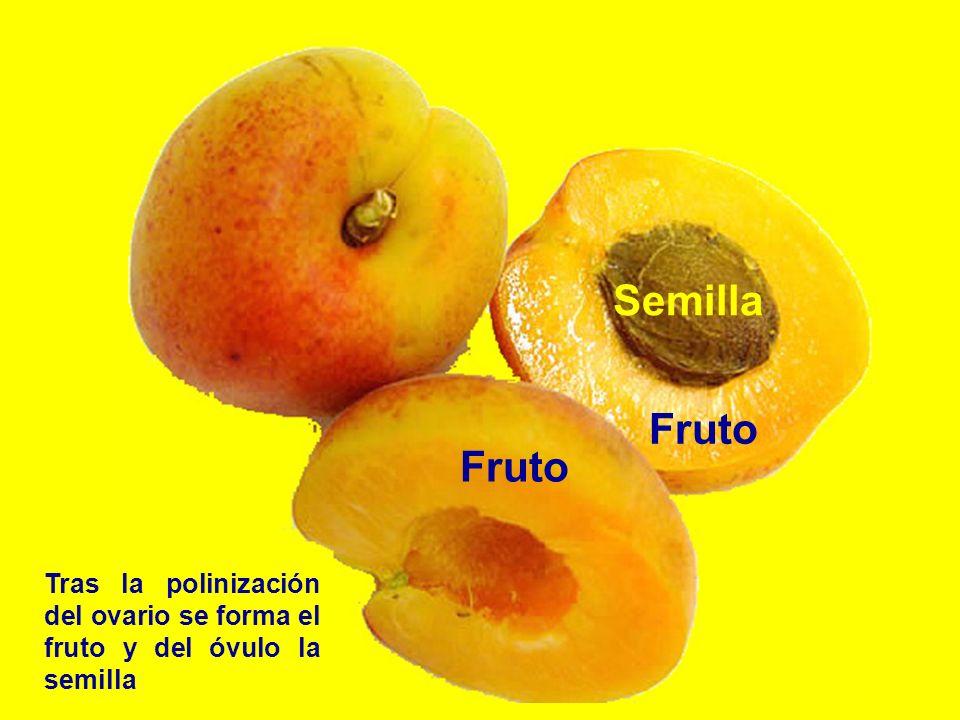 Fruto Semilla Tras la polinización del ovario se forma el fruto y del óvulo la semilla