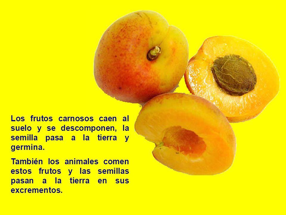 Los frutos carnosos caen al suelo y se descomponen, la semilla pasa a la tierra y germina. También los animales comen estos frutos y las semillas pasa