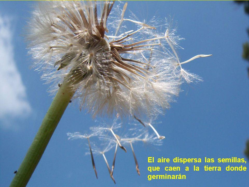 El aire dispersa las semillas, que caen a la tierra donde germinarán