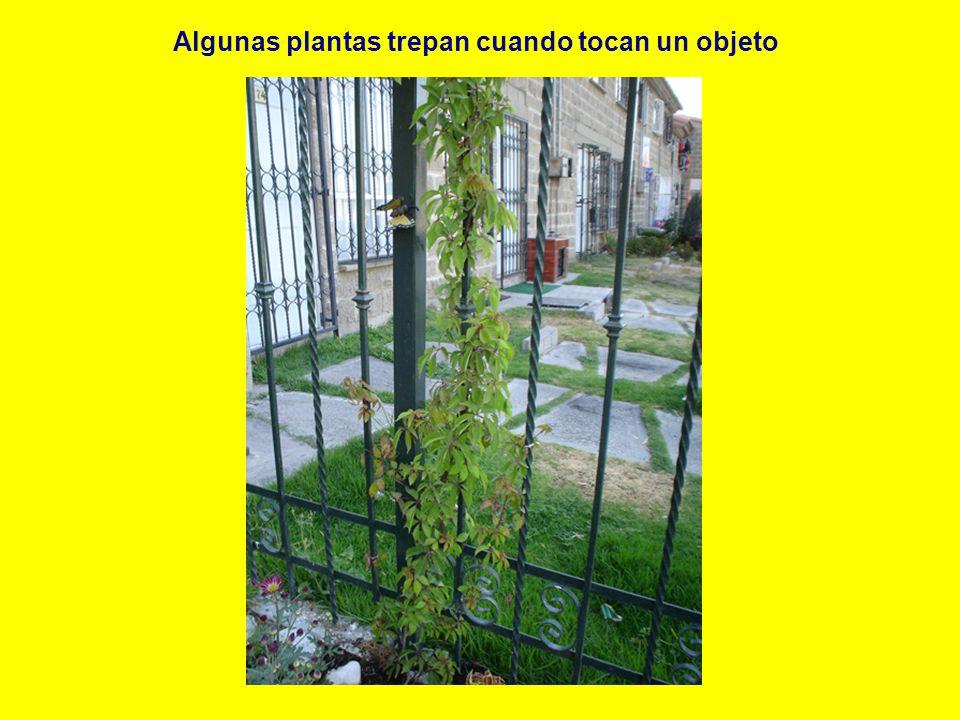Algunas plantas trepan cuando tocan un objeto