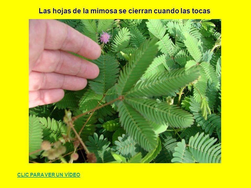 Las hojas de la mimosa se cierran cuando las tocas CLIC PARA VER UN VÍDEO