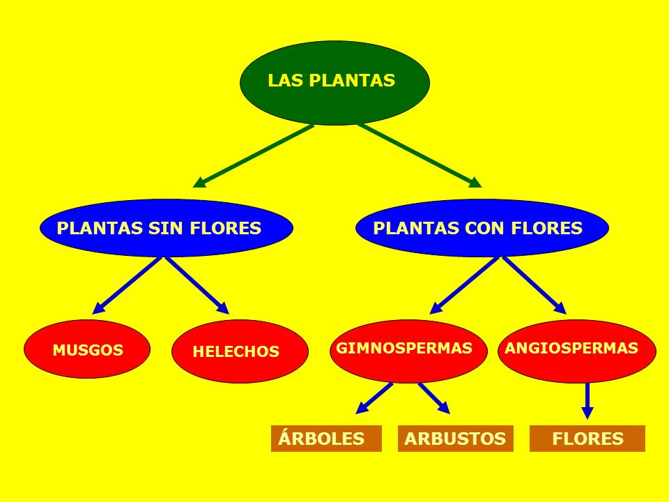LAS PLANTAS PLANTAS SIN FLORESPLANTAS CON FLORES MUSGOS HELECHOS GIMNOSPERMASANGIOSPERMAS ÁRBOLESARBUSTOSFLORES