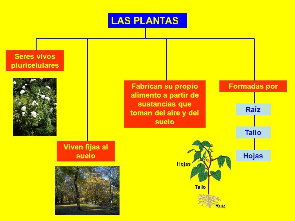 LAS PLANTAS Seres vivos pluricelulares Viven fijas al suelo Fabrican su propio alimento a partir de sustancias que toman del aire y del suelo Formadas