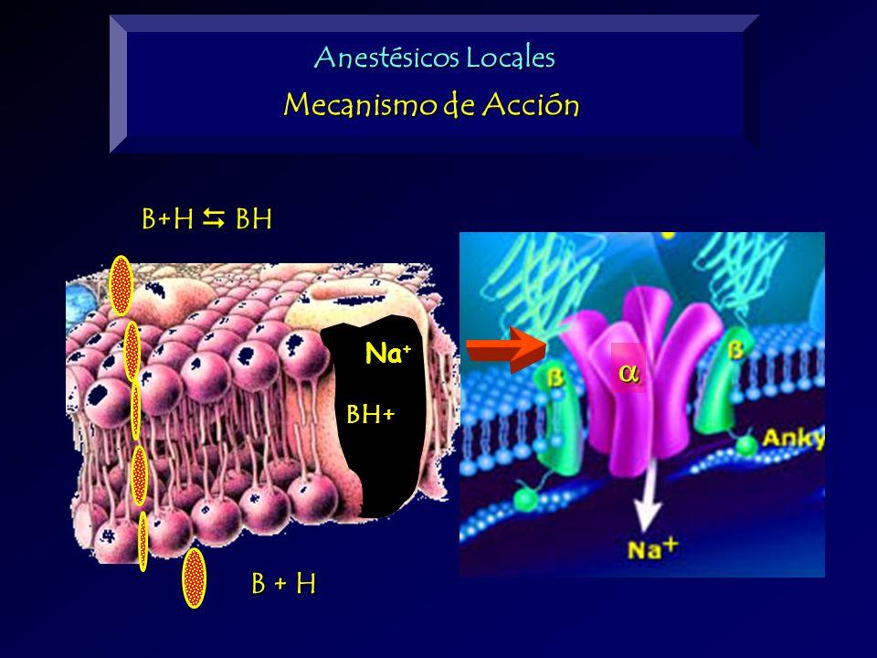 B+H BH B + H BH+ Na + Anestésicos Locales Mecanismo de Acción