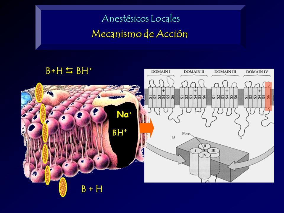 B+H BH + B + H Anestésicos Locales Mecanismo de Acción BH + Na +