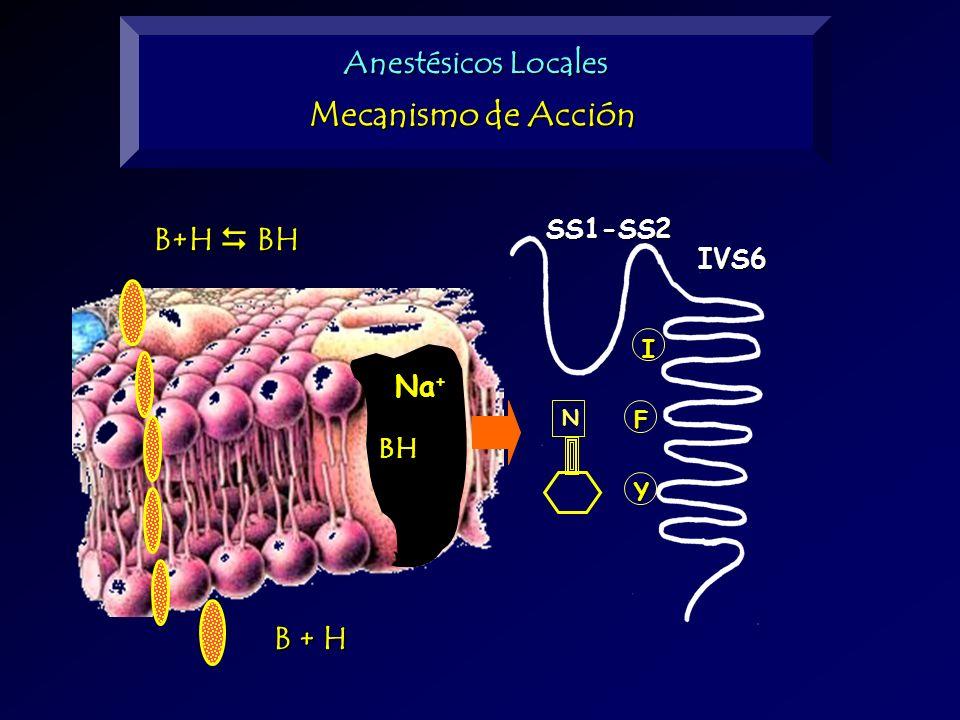B+H BH B + H I F Y N SS1-SS2IVS6 BH Na + Anestésicos Locales Mecanismo de Acción
