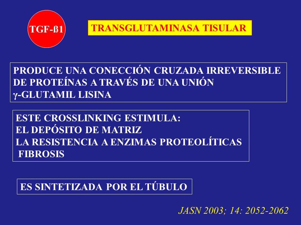 TGF-ß1 TRANSGLUTAMINASA TISULAR PRODUCE UNA CONECCIÓN CRUZADA IRREVERSIBLE DE PROTEÍNAS A TRAVÉS DE UNA UNIÓN γ-GLUTAMIL LISINA ESTE CROSSLINKING ESTI