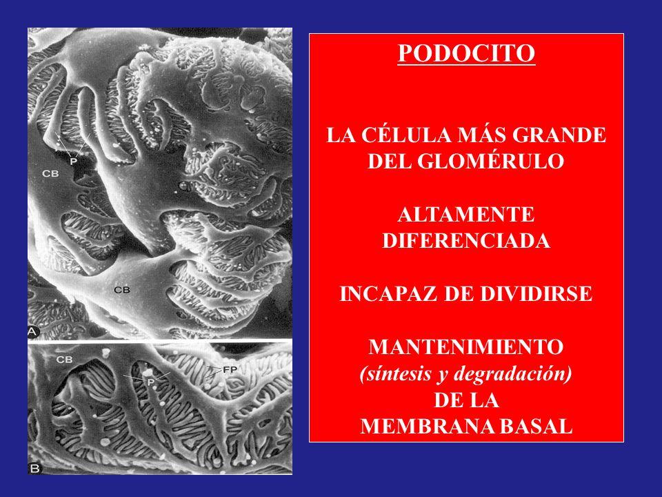 PODOCITO LA CÉLULA MÁS GRANDE DEL GLOMÉRULO ALTAMENTE DIFERENCIADA INCAPAZ DE DIVIDIRSE MANTENIMIENTO (síntesis y degradación) DE LA MEMBRANA BASAL