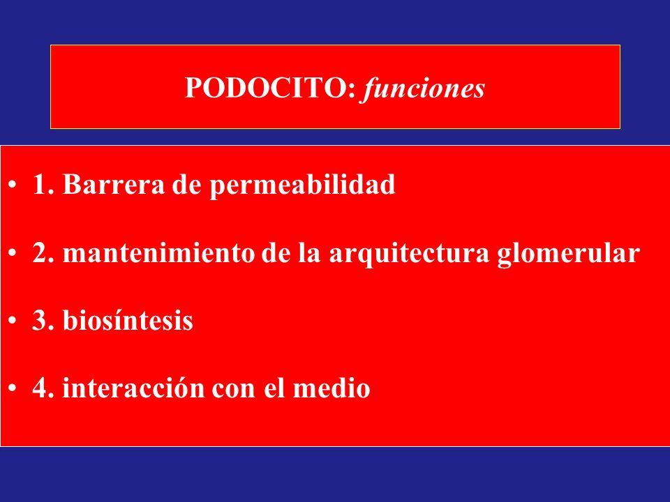 PODOCITO: funciones 1. Barrera de permeabilidad 2. mantenimiento de la arquitectura glomerular 3. biosíntesis 4. interacción con el medio