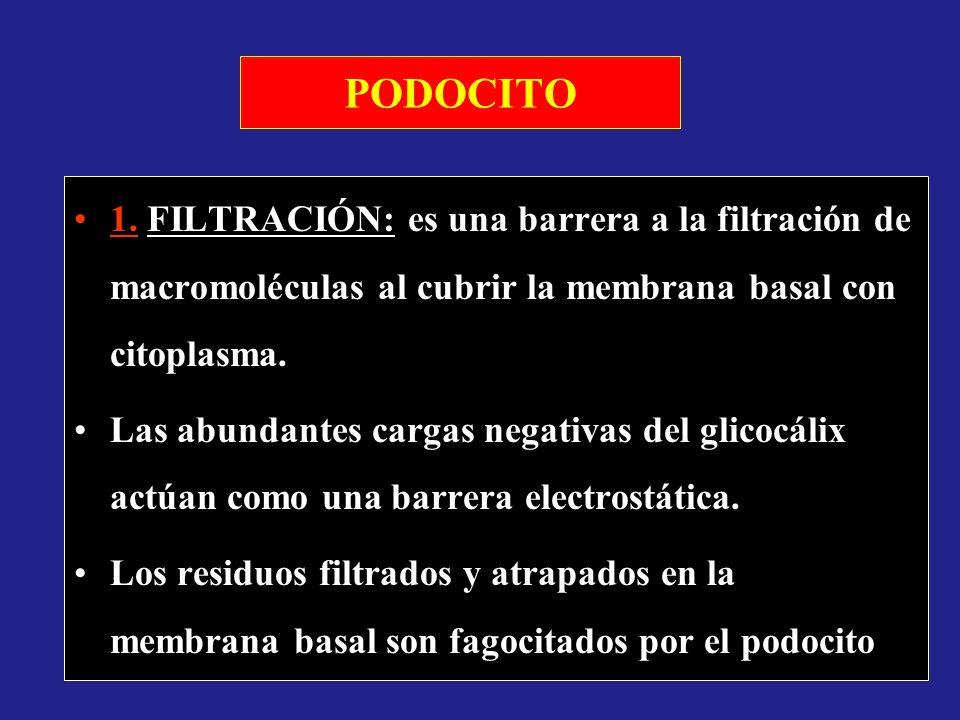PODOCITO 1. FILTRACIÓN: es una barrera a la filtración de macromoléculas al cubrir la membrana basal con citoplasma. Las abundantes cargas negativas d