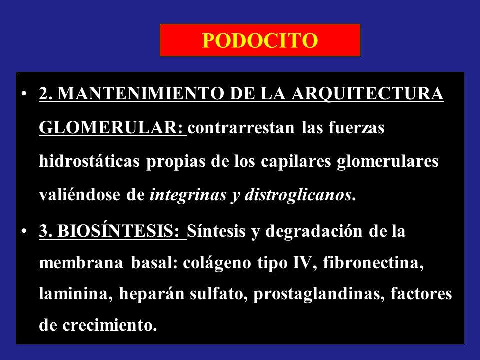 PODOCITO 2. MANTENIMIENTO DE LA ARQUITECTURA GLOMERULAR: contrarrestan las fuerzas hidrostáticas propias de los capilares glomerulares valiéndose de i