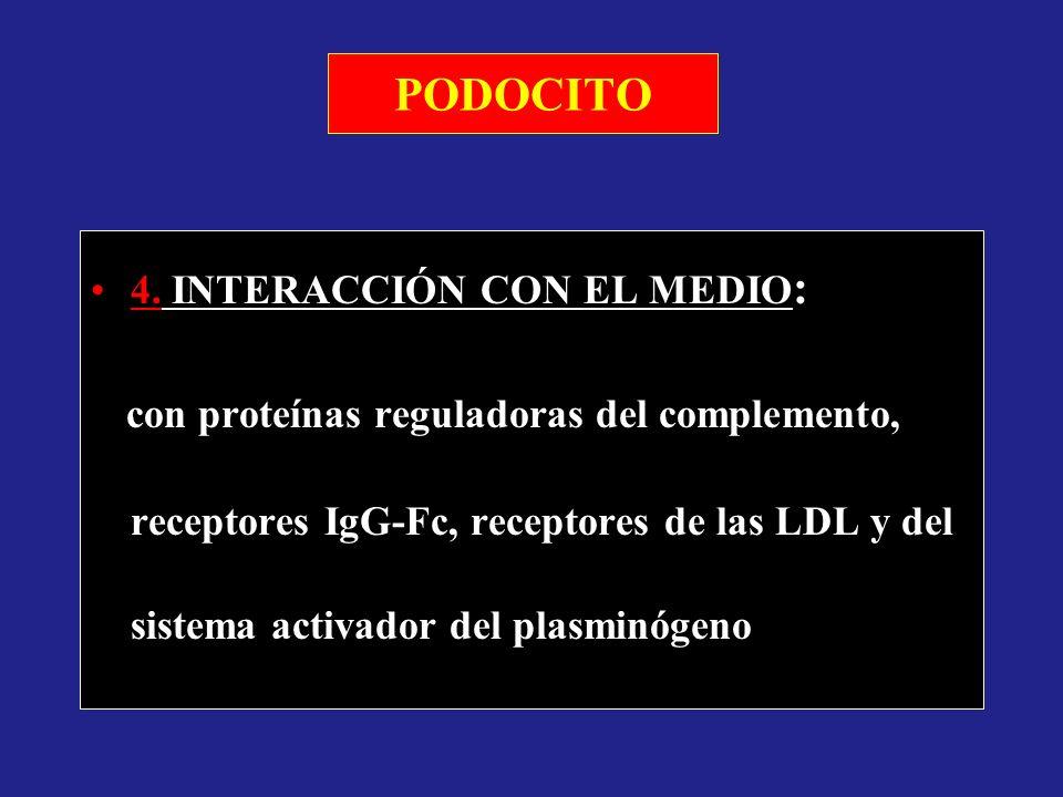 PODOCITO 4. INTERACCIÓN CON EL MEDIO : con proteínas reguladoras del complemento, receptores IgG-Fc, receptores de las LDL y del sistema activador del