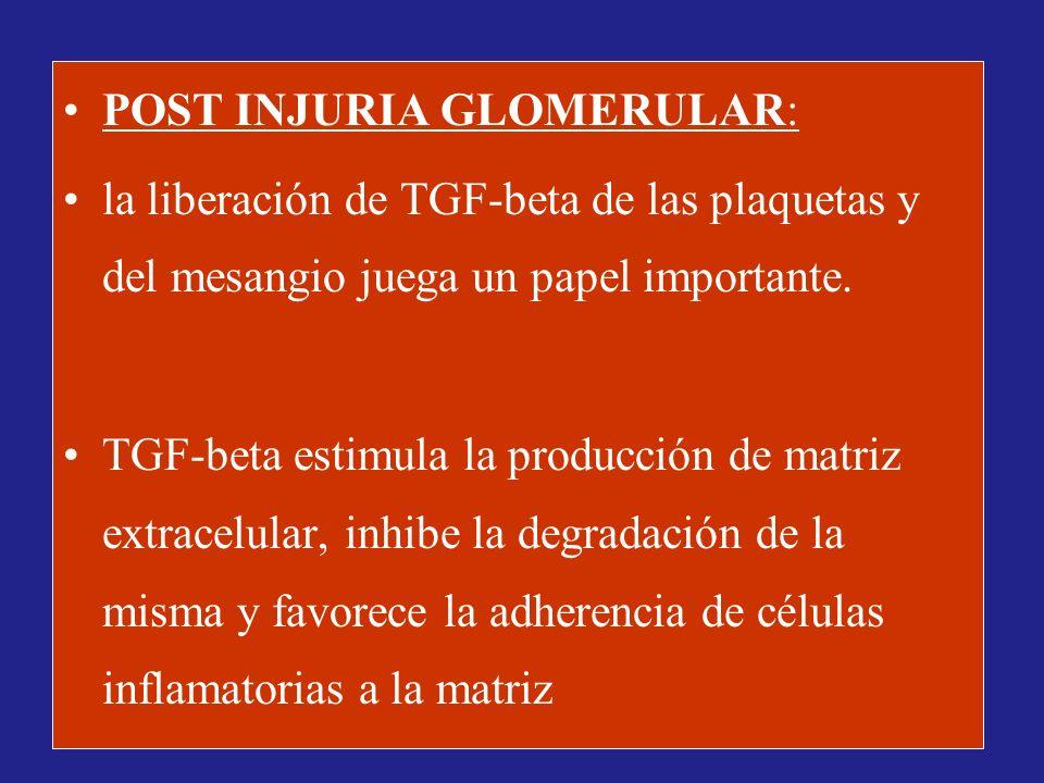 POST INJURIA GLOMERULAR: la liberación de TGF-beta de las plaquetas y del mesangio juega un papel importante. TGF-beta estimula la producción de matri