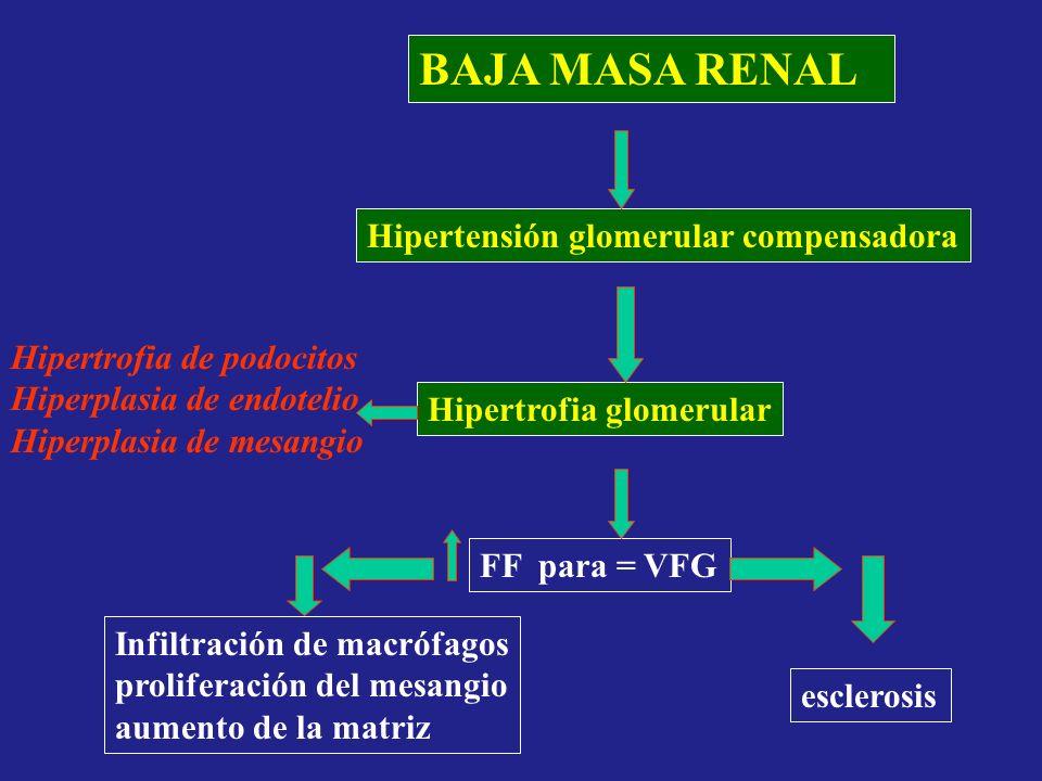 BAJA MASA RENAL Hipertensión glomerular compensadora Hipertrofia glomerular FF para = VFG esclerosis Hipertrofia de podocitos Hiperplasia de endotelio