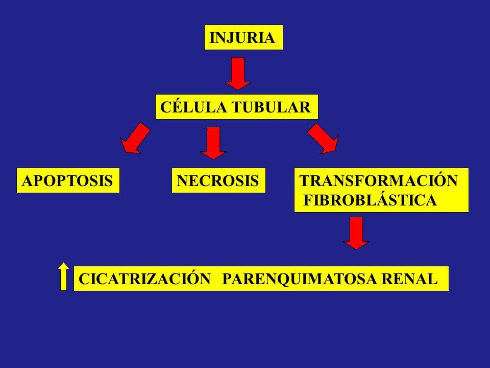 INJURIA CÉLULA TUBULAR APOPTOSISNECROSISTRANSFORMACIÓN FIBROBLÁSTICA CICATRIZACIÓN PARENQUIMATOSA RENAL