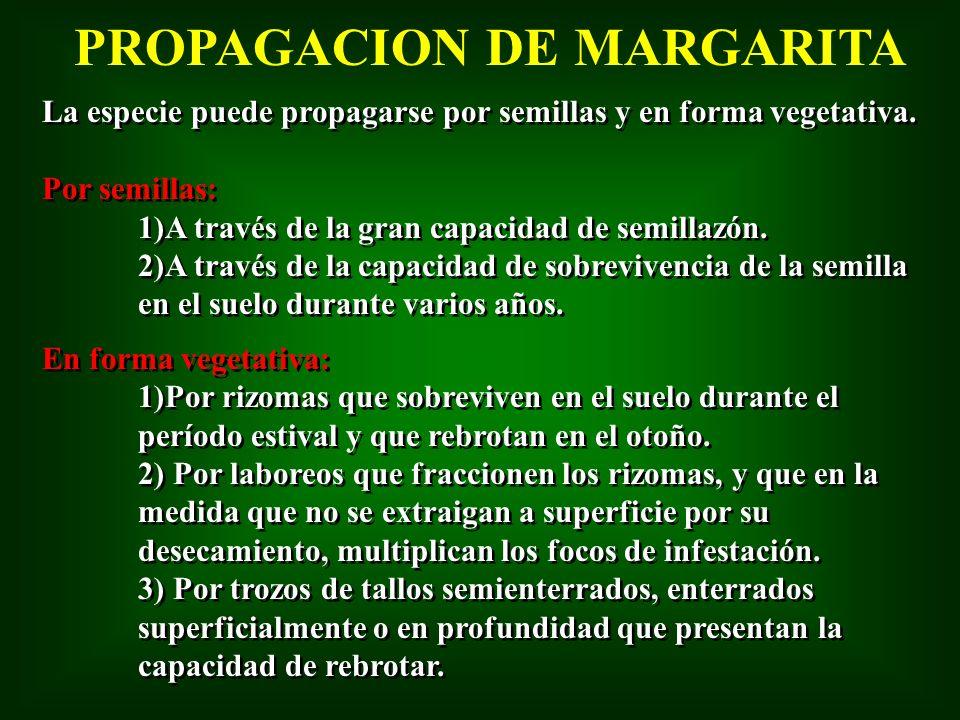 PROPAGACION DE MARGARITA La especie puede propagarse por semillas y en forma vegetativa. Por semillas: 1)A través de la gran capacidad de semillazón.