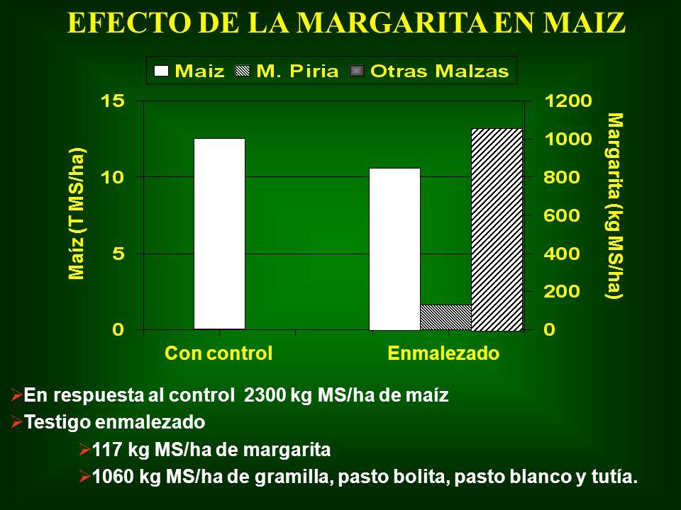 En respuesta al control 2300 kg MS/ha de maíz Testigo enmalezado 117 kg MS/ha de margarita 1060 kg MS/ha de gramilla, pasto bolita, pasto blanco y tut